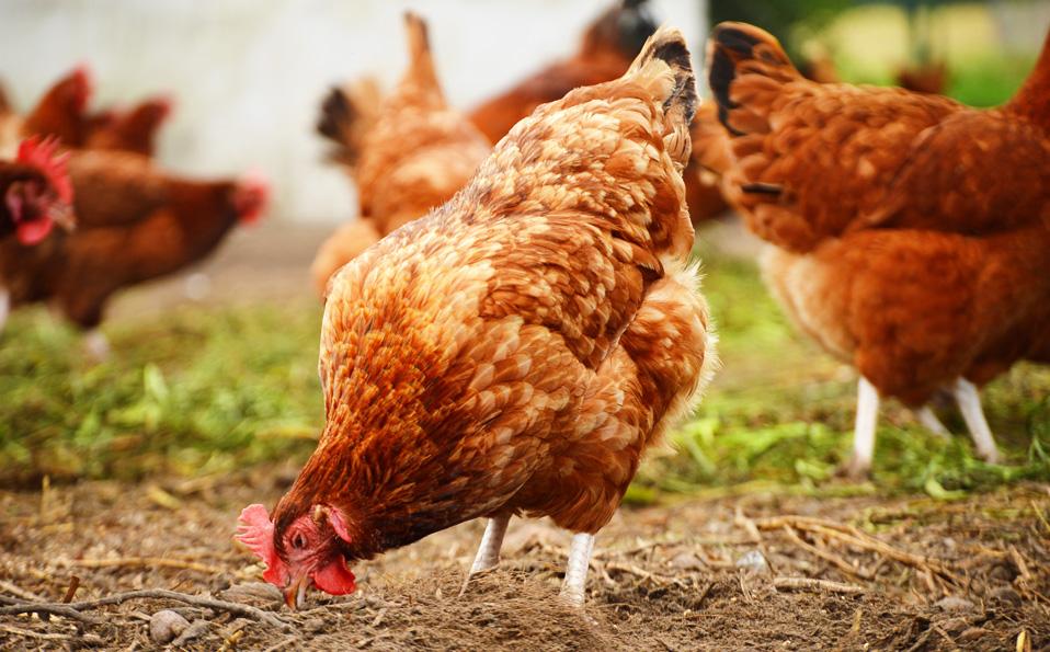 kyckling_startsida